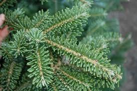 Frasier Christmas Tree Cutting by Fresh Cut Fraser Fir Trees U2014 Modern Homestead