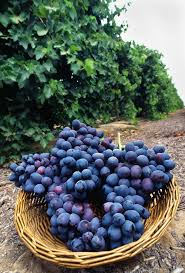 freshly picked grapes displayed free stock photo public domain