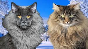 forest cat vs maine coon maine coon vs forest cat what are the differences