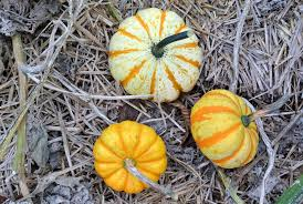 Pumpkin Patch Naples Fl 2015 by Harvesting The Season U0027s Pumpkins The Martha Stewart Blog