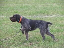German Wirehaired Pointer Shedding by Drahthaar Dogs Google Search Birddogs Pinterest Pointers