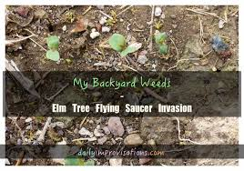 My Backyard Weeds – Elm Tree Flying Saucer Invasion Common Garden Weeds This Common Garden Weed Is An Effective Pain Backyard Habitat The Power Of One Writer Page 3 13 Edible And Flowers Hgtv How To Identify Lawn Howtos Diy Foragers Handbook Grow Gather Barter Hunt 101 A Nutritious Free Treat For Your Chickens Worlds Best Photos Ragweed Weeds Flickr Hive Mind Wild Plantain A But Useful Weed T Looks Very My Florida Brighten The Corner Where You Are Plants Darxxidecom Five Healthiest Edibles Throw Canada Day Party Ppare Brittany