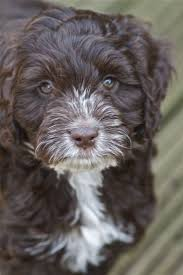 Do Cockapoo Mixes Shed by 152 Best Cockapoo Images On Pinterest Animals Puppy Love And