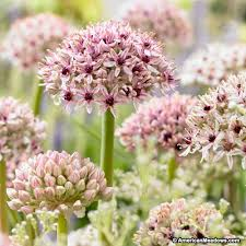 allium bulbs silver american