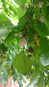 White Mulberry Info Tips On Caring For Trees Dwarf
