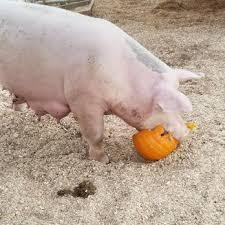 Best Pumpkin Patch In San Bernardino County by Live Oak Canyon Pumpkin Patch And Christmas Tree Farm 481 Photos