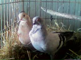 Got Some New Pigeons(Update! Eggs Already!)) | BackYard Chickens A Tame Pigeon In Our Back Yard Youtube 378 Best Pigeons Doves Images On Pinterest Beautiful Birds Hd Big Dove Pigeons Doves White Gray Eating Seed Backyard Flock Of Bandtailed Cramming Into Bird Feeder My First Backyard Chickens Building Loft For New Need Info Faest Sprinter Racing Modena Food And Profit Cooldesign Backyard Architecturenice Busy Their Foods My Help Me Identify The Gender This