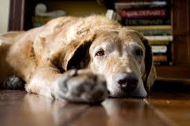 Chesapeake Bay Retriever Molting by Chesapeake Bay Retriever The Chessie Dog Breed Answers