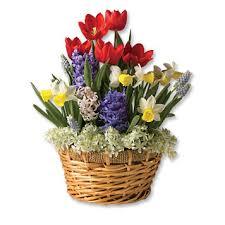 flowering bulbs in gift baskets series of beautiful bulb baskets