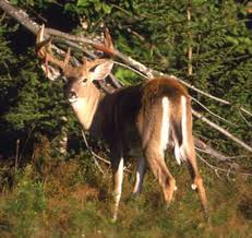 Does Deer Shed Their Antlers by Wildlife Photos How A Buck Sheds Antler Velvet Field U0026 Stream