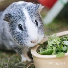 Can Guinea Pigs Eat Pumpkin Seeds by Haypigs U2014 Vegetables U0026 Fruit