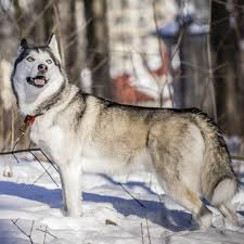 Non Shedding Husky Cross by A List Of Mountain Dog Breeds With Amazing Information And Pictures