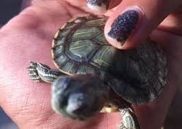 Turtle Shell Not Shedding Properly by Turt Shell Cond F 17
