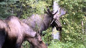 Bull Moose Shedding Antlers by Bull Moose With Wind Chimes Caught On His Antlers Youtube