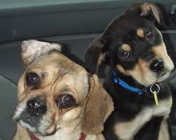 Do Pugs And Puggles Shed by Puggle Designer Dog Breed Pug Beagle Mix Information And Images