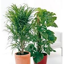 plantes vertes d interieur les grandes feuilles conseils plantes vertes d intérieur truffaut