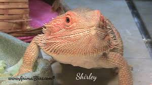 Bearded Dragon Shedding A Lot by Your Bearded Dragon Is Gravid Now What Animal Bliss