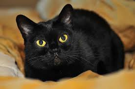 bombay cats 7 cat breeds that are great with