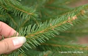 Nordmann Fir Christmas Tree Nj by Sprucing Up Wolgast Tree Farm