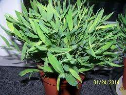 bambou nain oui mais lequel lesbambous fr forum des fous de