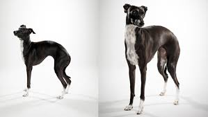 Do Italian Greyhounds Shed A Lot by Italian Greyhound Dog Breed Selector Animal Planet