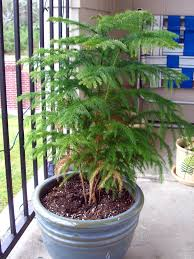 Kinds Of Christmas Trees In India by Norfolk Pine Care Indoors Tips For Care Of A Norfolk Island Pine