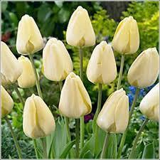 ivory floradale tulip bulbs for sale buy tulip bulbs below