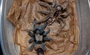 Do Tarantulas Molt Upside Down by Tarantula Icu