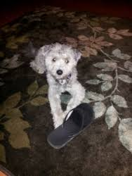 No Shed Dogs Illinois by I Found Bolo On Poodles Dogs And He Is