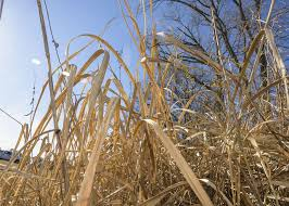 Pumpkin Patch Lawrence And Benton by Now Is The Time To Spot Treat Cogongrass Patches Mississippi