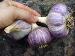 buy organic garlic hardneck seed garlic cloves