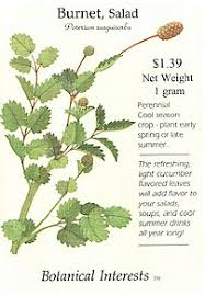 Salad Burnet Recipes and Growing instructions