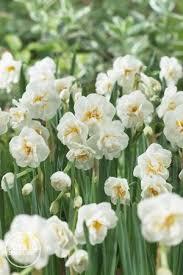 narcissi bunch flowering bridal crown daffodil from adr bulbs