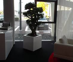 hydrokultur ficus microcarpa bonsai in fiberstone block weiß