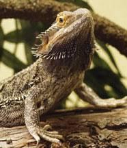 bearded dragon pogona species profile habitat diet and care