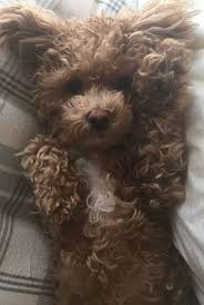 Do Cavapoos Shed A Lot by 339 Best D O G S Images On Pinterest Animals Puppies And