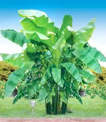 winterharte banane grün