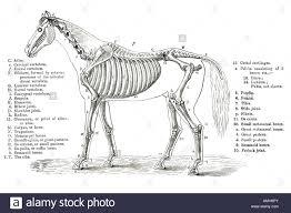 Stock Photo Horse Skeleton Skeletal Cross Section Bone Veterinary Chart Veterinarian Vet Anatomy Anatomical Teach Learn