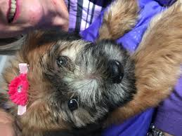 Do Wheaten Terrier Puppies Shed by Beautiful Wheaten Terrier Puppies In Hoobly Classifieds