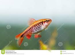 poisson eau douce aquarium tropical paysage de fishtank avec la cerise orange barb de poissons