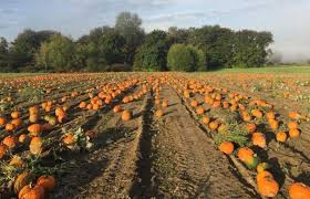 Kent Farms Pumpkin Patch by Best Pumpkin Patches And Farms Near Seattle