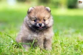 Miniature Dog Breeds That Dont Shed by 100 Small Dog Breeds That Dont Shed 7 Adorable Small Dogs