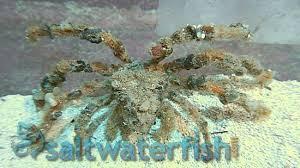 Decorator Crab Tank Mates by Decorator Crab Spider