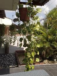 10 hängende zimmerpflanzen für eure stube indoorgarten