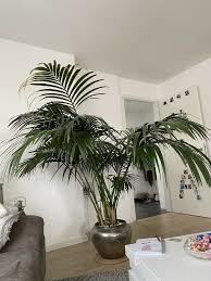 kentia palme ca 7 jahre alt