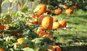 Kent Farms Pumpkin Patch by Best Pumpkin Patches And Corn Mazes For Seattle And Eastside