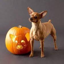 Using Pumpkin For Dog Constipation by Of Pumpkins And Pooches Will My Dog Me