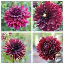 late summer flower bulbs hit their stride longfield gardens