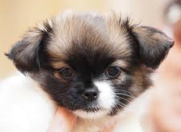 learn about the shih tzu chihuahua mix dogable