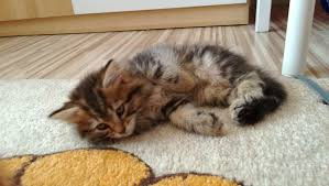 Siberian Cat Hair Shedding by Siberian Cat Wikiwand